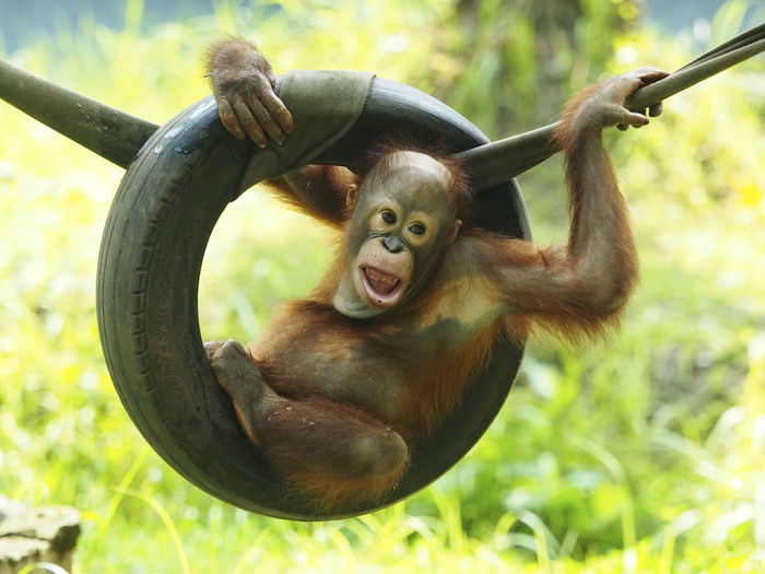 The Bornean orangutan (Pongo pygmaeus) is a species of orangutan native to the island of Borneo. Together with the Sumatran orangutan and Tapanuli orangutan, it belongs to the only genus of great apes native to Asia. Like the other great apes, orangutans are highly intelligent, displaying tool use and distinct cultural patterns in the wild. The Bornean orangutan is a critically endangered species. Ape Borneo Colors Endangered Species Orang Utan Animal Expressions Animal Face Baby Orang Utan Day Mammal Monkey One Animal Orangutan Outdoors Playground Pongo Pygmaeus Primate Primates