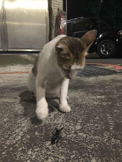 Legendary ultimate fight Cat Bug