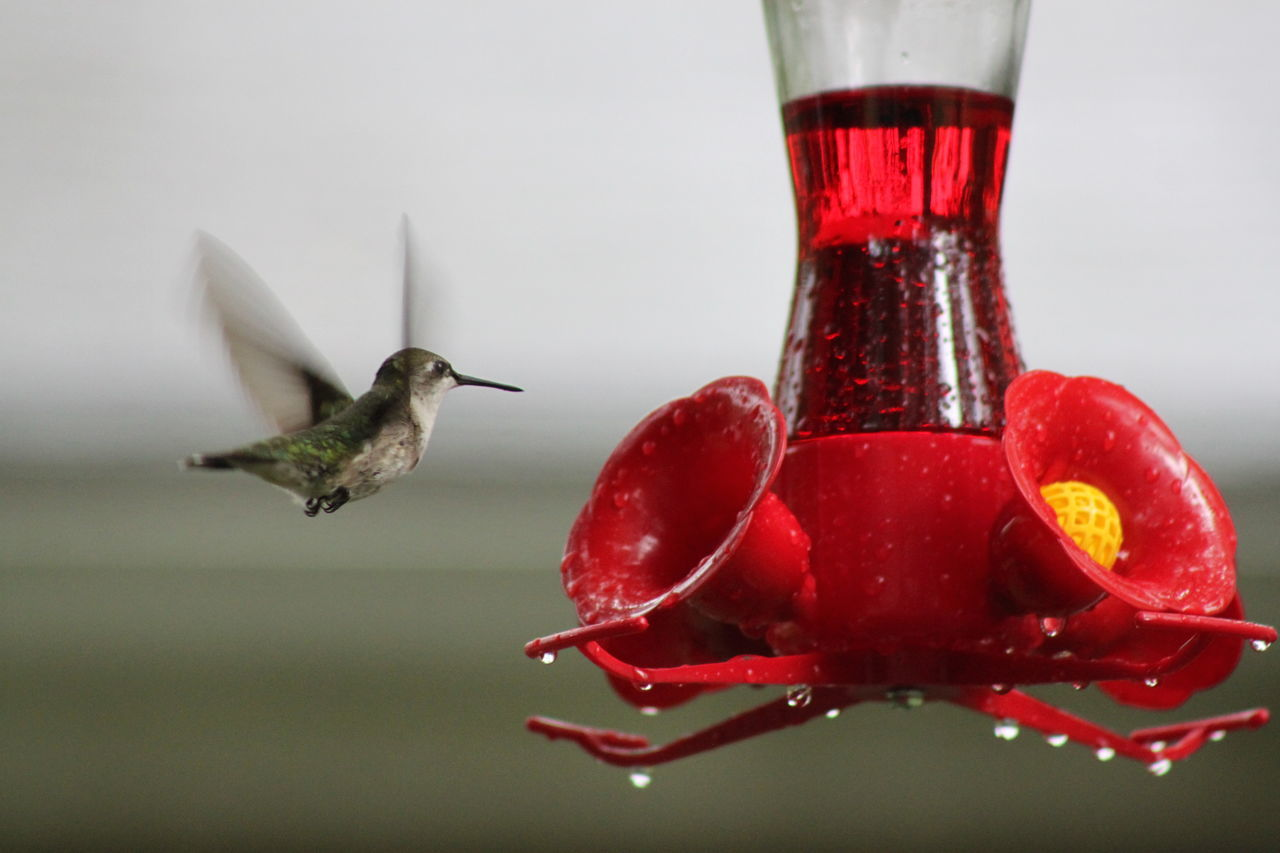 animal themes, one animal, red, hummingbird, animals in the wild, animal wildlife, flying, bird, bird feeder, mid-air, food and drink, no people, nature, close-up, spread wings, motion, water, day, food, freshness, outdoors, buzzing