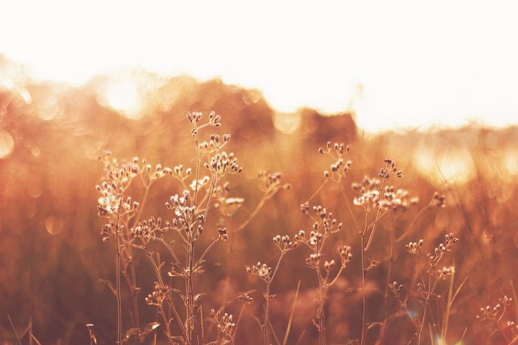 Bokeh Gold Grass Plant Field Growth Sunlight Flowering Plant Sunny Backgrounds Sky
