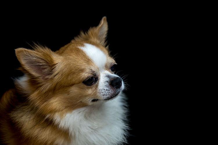 Pet Portraits Animal Themes Black Background Close-up Day Dog Domestic Animals Indoors  Mammal No People One Animal Pembroke Welsh Corgi Pets Pomeranian