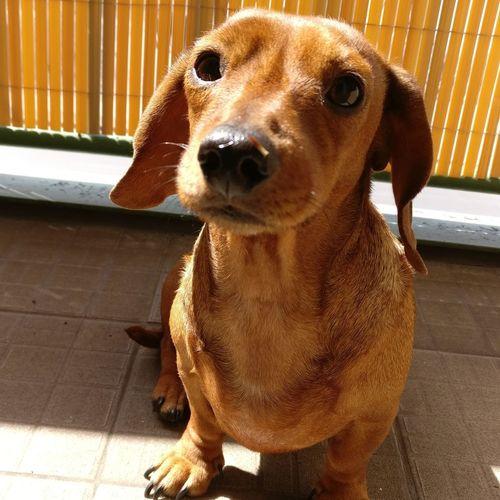 Daschund Sausagedog EyeEm Selects Dog Pets One Animal Animal Themes Domestic Animals