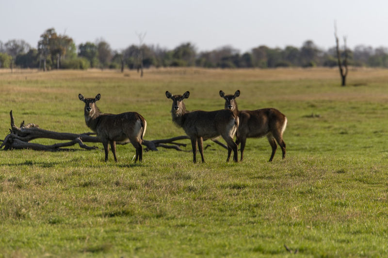 Herd of waterbucks on field