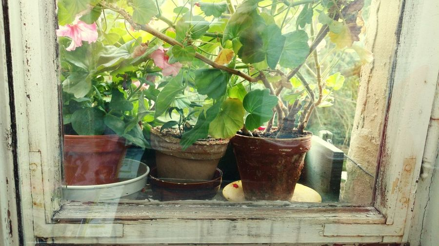 Leaf Homesweethome Plant Flower Potted Plant Pot Plant Window Frame Green Color Blumentopf Blumentöpfe Windowsill Vintage Window Wohnung Apartment Living Windows And Doors Old Buildings Old Windows Old House Window Reflections Wohnglück Shabby Shabby Chic Old Home