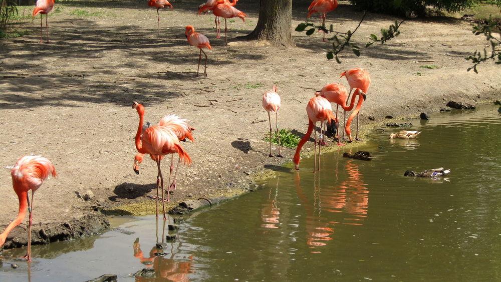 Caribbean Flamingos Chester Zoo Chesterzoo Day Flamingo Flamingo Nature No People Outdoors Zoo