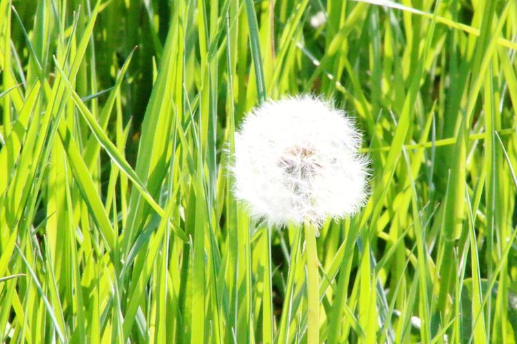 Flower Head Flower Field Softness Wildflower White Color Dandelion Uncultivated Close-up Grass