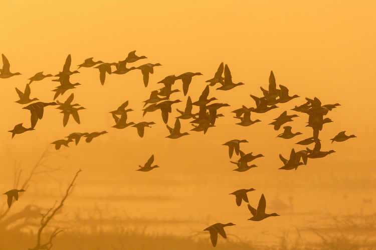Flock of ducks flying in the misty sunrise