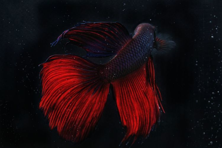 Close-up of siamese fighting fish with red tail