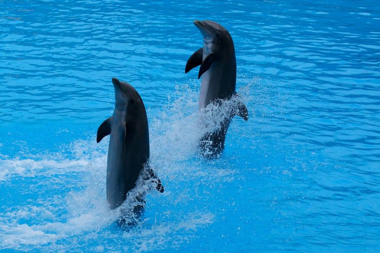 High Angle View Of Dolphins Swimming In Pool