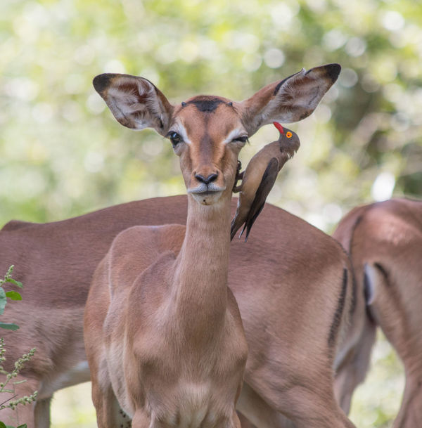 Impala Krüger National Park  Krüger National Park  Oxpecker Wildlife