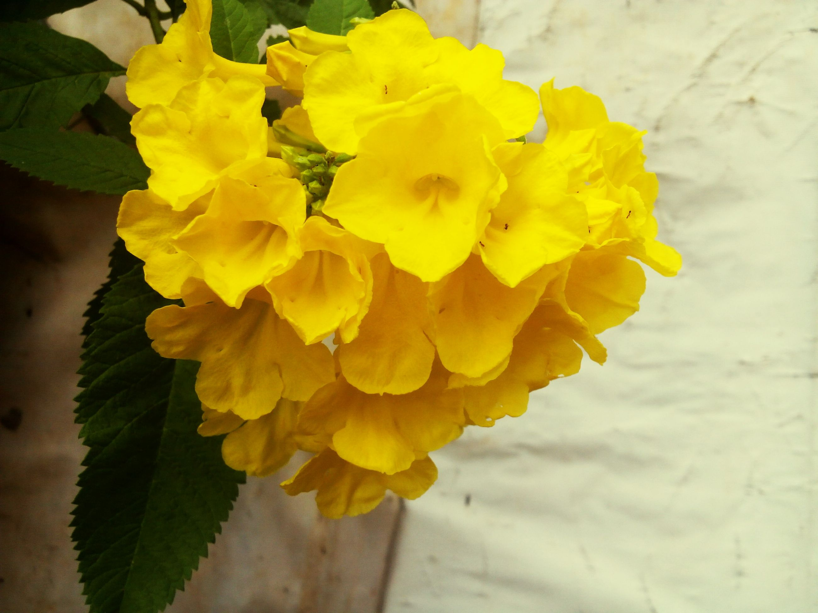 flower, petal, yellow, freshness, fragility, flower head, beauty in nature, growth, close-up, leaf, plant, nature, blooming, focus on foreground, in bloom, botany, blossom, single flower, rose - flower, day