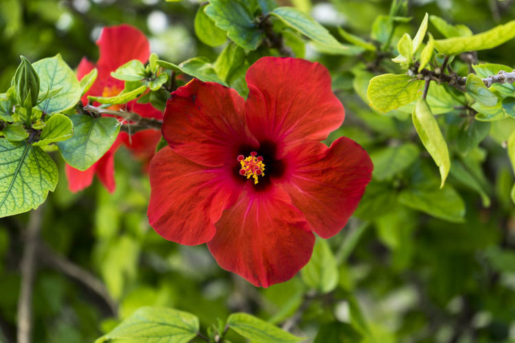Red hibiscus flower Green Plant Red Beauty In Nature Blooming Close-up Flower Flower Head Focus On Foreground Fragility Freshness Green Color Growth Hibiscus Hibiscus Flower Nature Outdoors Plant Radiant Colors Red