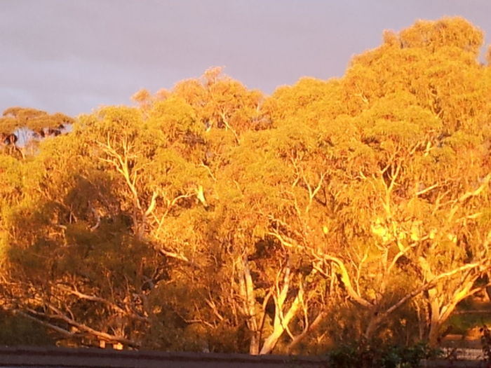 These leaves on the gum trees are green, but with the sunset make them look yellow. Australia Gum Trees