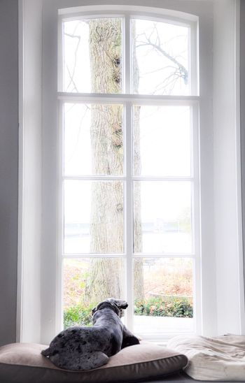 Enjoy doing nothing... Window Curtain Indoors  Day Pets Dog Dog Love Dogslife Home Indoor Photography Indoor Photo IndoorPhotography Natural Light Portrait Indoor Lighting Home Sweet Home Big Windows Pet Photography  Pet Love Pets Corner One Animal Window Sill Domestic Animals No People Animal Themes