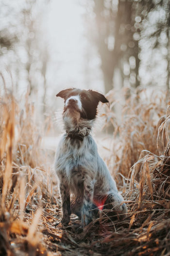 Mixed-breed dog sitting in field with sun behind him.