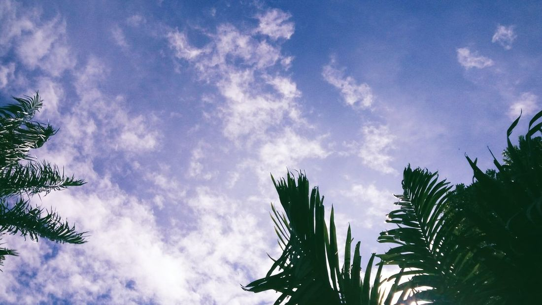 Not summer day Tree Pinaceae Low Angle View Sky Cloud - Sky Nature No People Beauty In Nature Growth Treetop Outdoors Day Palm Tree
