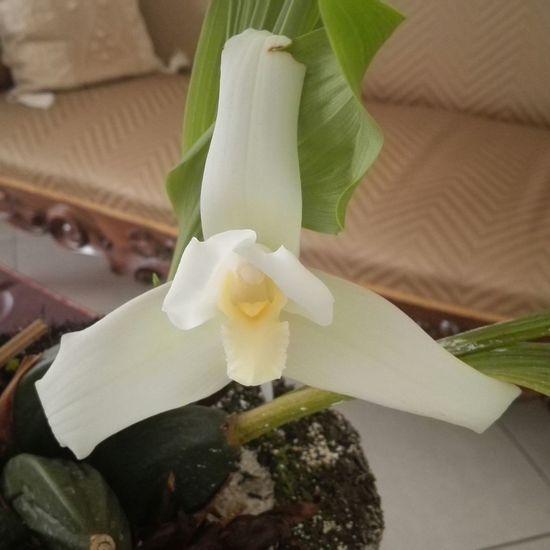 Monja Blanca