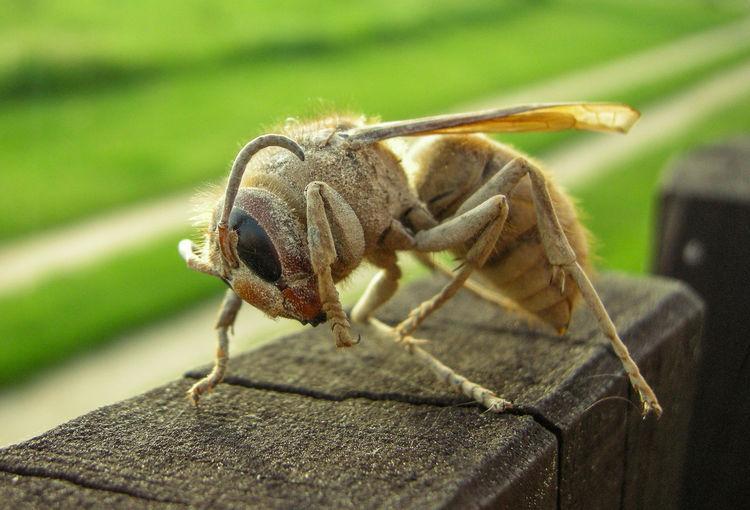 Close-up dead hornet