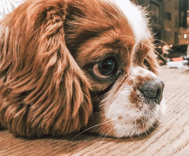 What you think about? Iphonephotography Lightroom Cavalier King Charles Spaniel One Animal Mammal Domestic Animals Dog Domestic Canine Animal Pets Animal Themes Vertebrate Close-up Animal Head  Animal Body Part Lap Dog Portrait No People Day Looking Looking Away Indoors