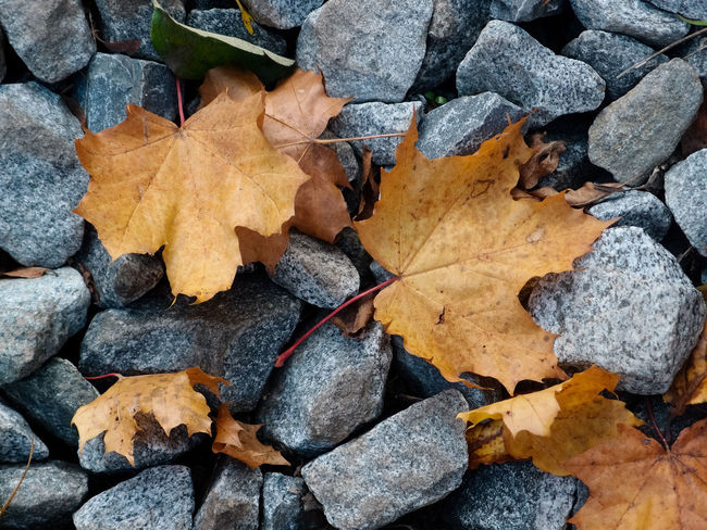 Maple leaves on the stones Macro Photography Autumn Autumn Collection Change Close-up Details Dry Fall Fragility Leaf Vein Leaves Macro Maple Leaf Natural Condition No People Orange Color Outdoors Pattern Rock Solid Still Life Stones Texture