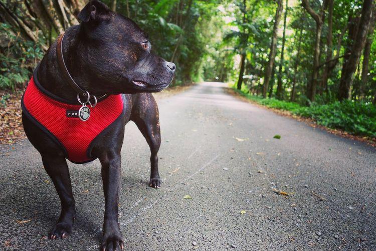 Staffy Outandabout Rainforest Walks Dog Puppia Staffordshire Bull Terrier