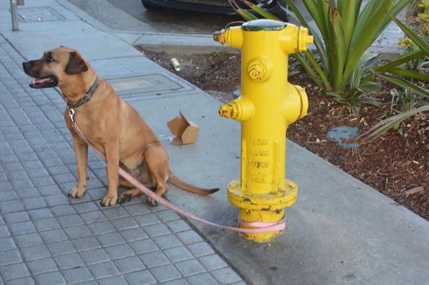 EyeEm Selects Dog Animal Themes Yellow Outdoors One Animal Pets Domestic Animals Day Mammal Fire Hydrant No People