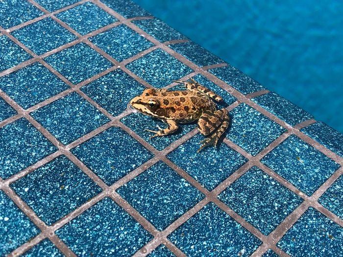 Water Pool Frog