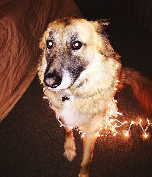 Rocky knows what's coming next. Pets Dog Domestic Animals One Animal Animal Themes Indoors  Mammal No People Portrait Close-up The Rock GSD Kent Ohio Christmas Lights Holiday Illuminated Looking At Camera