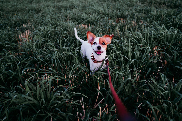 Portrait of dog standing amidst grass