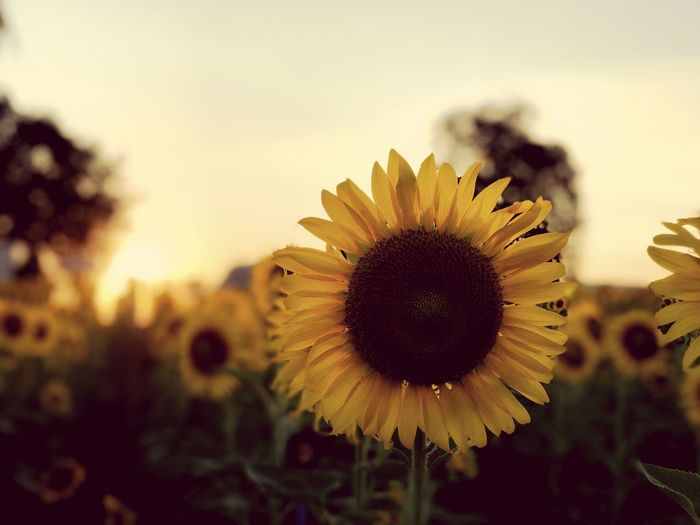 Sunflower garden on sunset twilight sky scenery vintage style Plant Growth Focus On Foreground Flower Close-up Beauty In Nature Flowering Plant Inflorescence Freshness Vulnerability  Flower Head Nature Fragility Sky Petal No People Yellow Pollen Selective Focus Outdoors