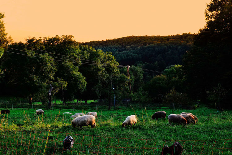 Good morning and happy friday. Domestic Animals Tree Agriculture Nature Livestock Group Of Animals No People Grazing Landscape Outdoors Grass Rural Scene Field Animal Themes Tranquility Sunset Sheep Flock Of Sheep Beauty In Nature Mammal