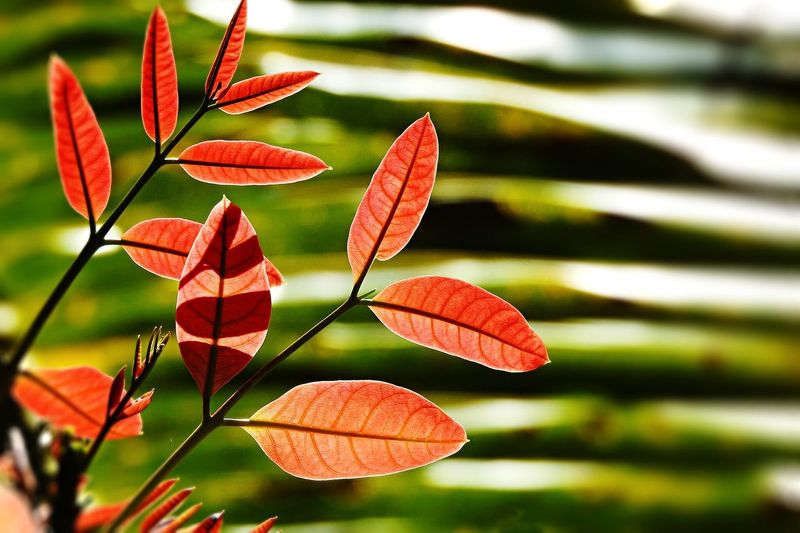 Close-up of red leaves growing outdoors