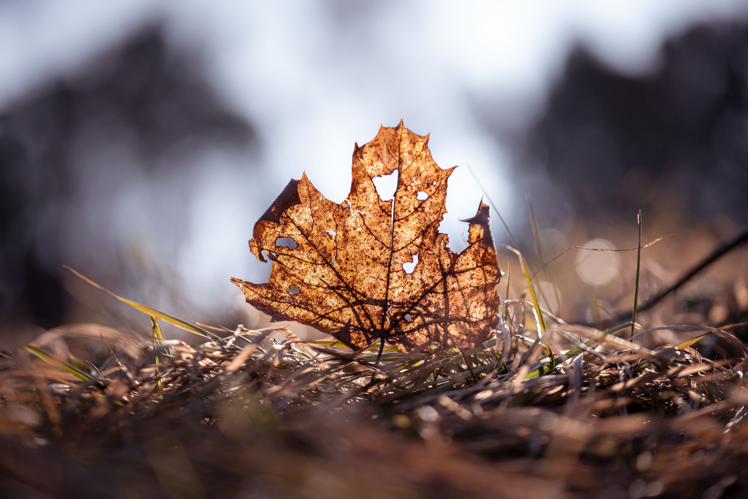 selective focus, nature, plant, dry, close-up, autumn, plant part, leaf, land, day, no people, field, beauty in nature, tranquility, brown, change, outdoors, tree, vulnerability, fragility, leaves, dried, surface level, natural condition, maple leaf