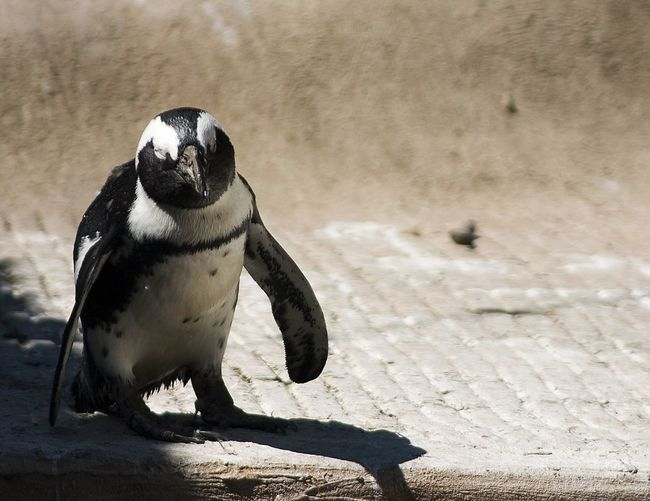 Penguin Seeks Caption Penguin