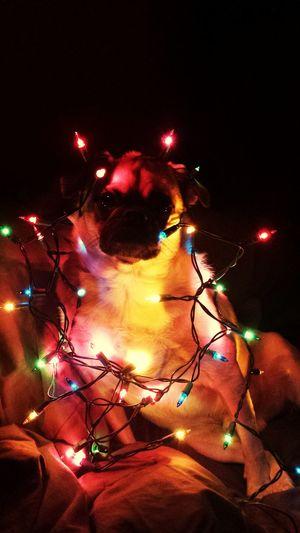 Best Christmas Lights Pet Portraits Christmas Lights🎄🌌 Christmas Lights Make Everything Better Christmas Lights Christmas Lights :) Christmas Time Pets Corner Pets Of Eyeem Pet Photography  Animal Photography
