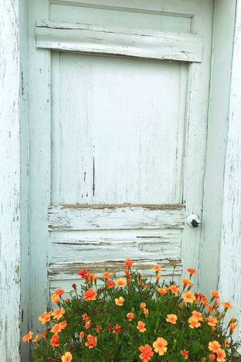 """""""Renaissance Door"""" An old, weathered door on the Main Street of the tiny Village of Corona, New Mexico, is given a renaissance of sorts by the placement of brightly colored orange flowers at its entrance. New Mexico Photography New Mexico Color Splash Old Doors Orange Flower Weathered Wood Weathered Renaissance Flower Flowering Plant Plant No People Wood - Material Door Entrance"""