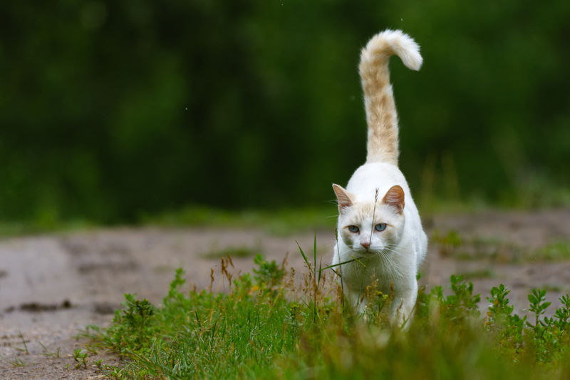 a white cat prowling through green grass Pets Beauty Closing Ear Portrait Cute Looking At Camera Nose Paw Close-up Tail Kitten Animal Hair Animal Eye Teeth Domestic Cat Young Animal Whisker