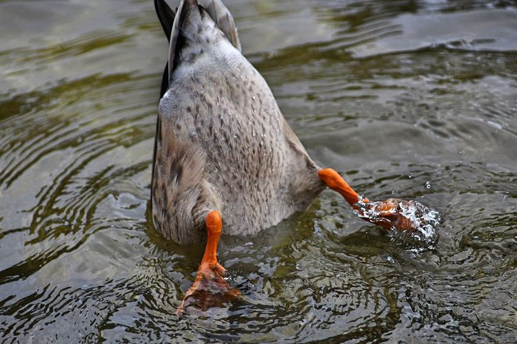 Nature Rear View Water Reflections Animal Animal Body Part Animal Photography Animal Portrait Animal Themes Beauty In Nature Close-up Day Details Of Nature Duck Ducks At The Lake Ducks In Water Lake Motion No People Outdoors Rear Splashing Underwater Water Water Bird Waterfront