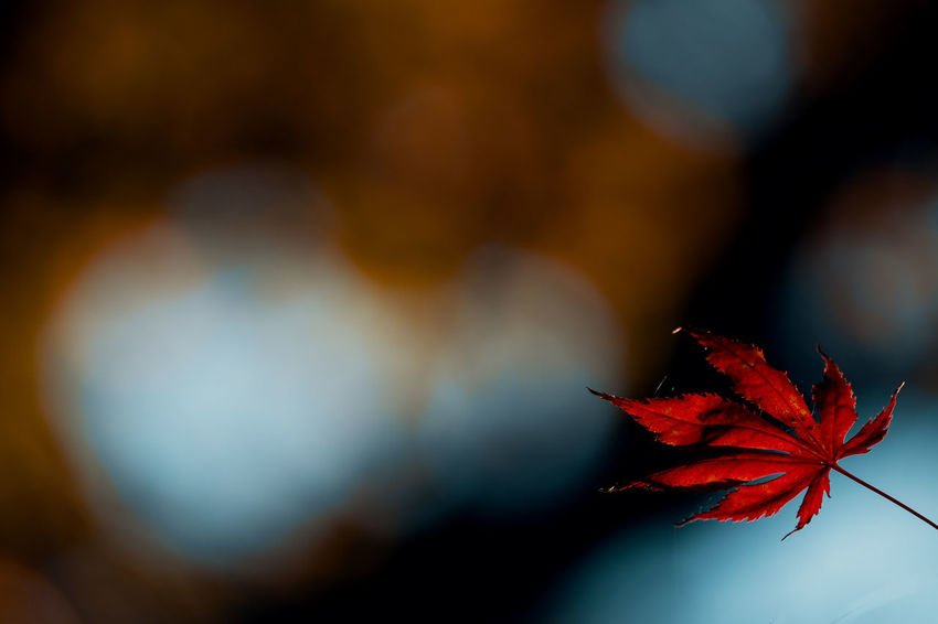 Some boring autumn colors Autumn Leaf Plant Part Change Close-up Red Nature Beauty In Nature Plant Maple Leaf Focus On Foreground No People Selective Focus Day Tree Outdoors Vulnerability  Fragility Dry Maple Tree Leaves Natural Condition Autumn Collection Flower
