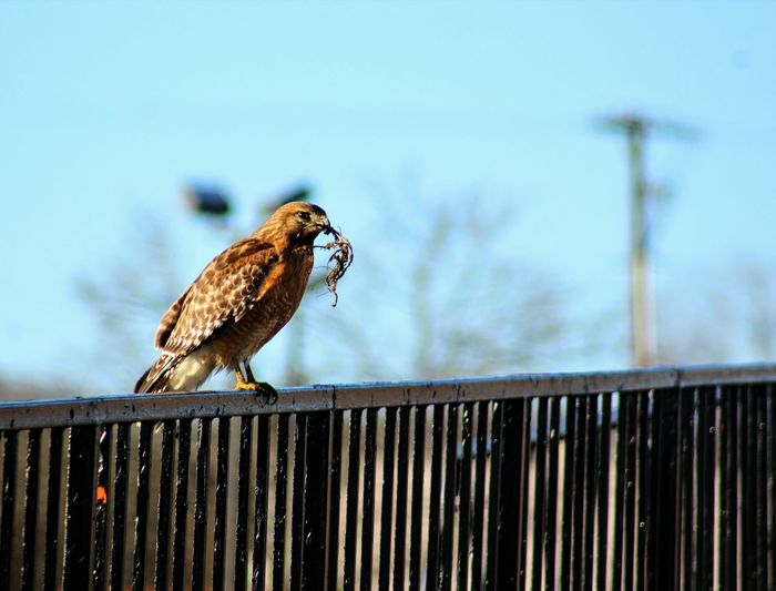 Hawk perching on railing against sky