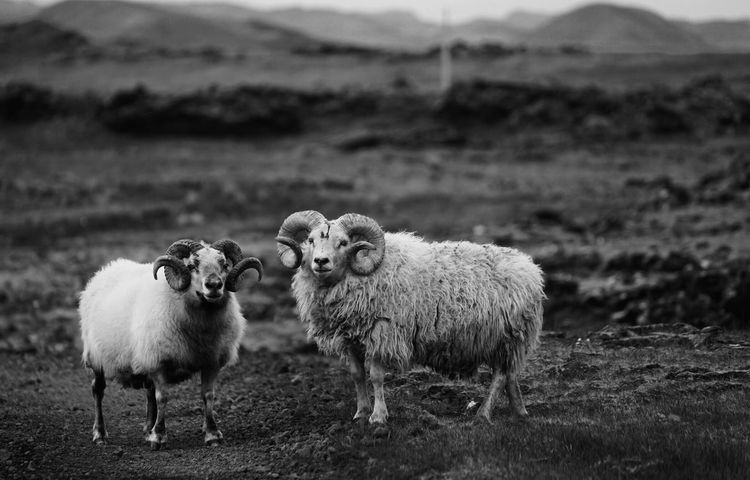 Exploring the Ring Road in Iceland Ring Road, Iceland Ring Road Iceland Taking Photos Iceland_collection Icelandic Sheep Sheeps Cheese! Nature Nature_collection Vacation Showcase: March Black & White B&w B&w Photography Welcome Weekly What Who Where
