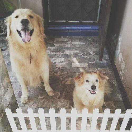 กั้น 🐕 🐕 Dog Pet Pet13 Goldenretriever