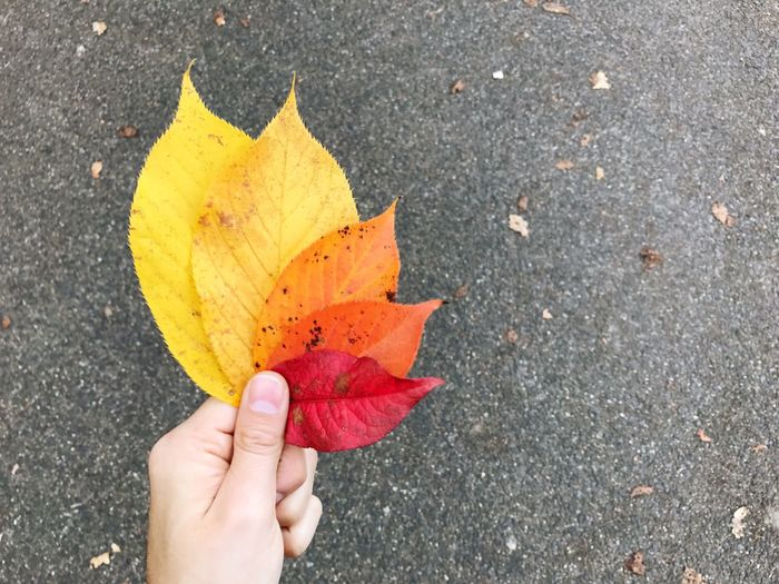 Autumn Leaves Hand Holding Colorful Real People Human Hand One Person Lifestyles Change Personal Perspective Unrecognizable Person High Angle View Leaf Close-up Human Body Part Outdoors Autumn Day