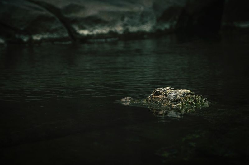 View of crocodile in water