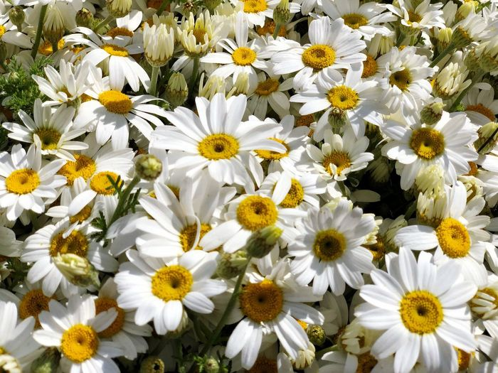Flower Flowering Plant Freshness Petal Fragility Plant Vulnerability  Growth Flower Head Beauty In Nature White Color Inflorescence Close-up Yellow Pollen Daisy Nature No People Botany Day