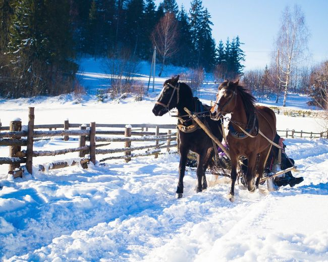 Horses pulling cart during winter