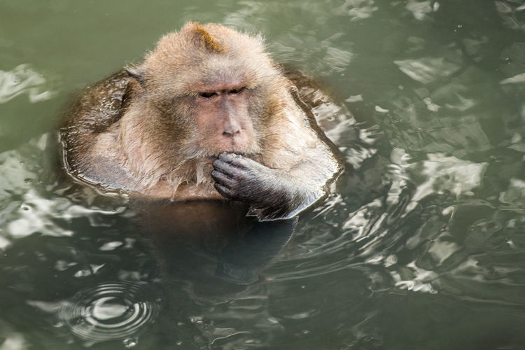 High angle view of long-tailed macaque in lake