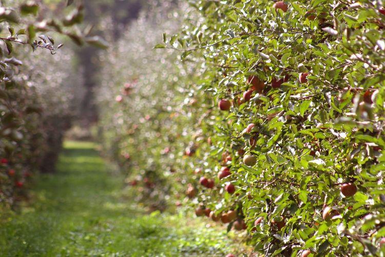 Apfelplantage Apfelplantage äpfel Am Baum Bodensee Landschaft Natural Beauty Tree Fruit Leaf Summer Rural Scene Springtime Autumn Grass Plant Green Color Apple Tree