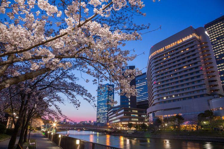 マジックアワー桜 Magic Hour Magic Moments OSAKA Japan Photography Japan Night Nightphotography Cherry Blossom Cherry Tree Springtime Spring City Tree Cityscape Water Urban Skyline Illuminated Modern Skyscraper River Waterfront