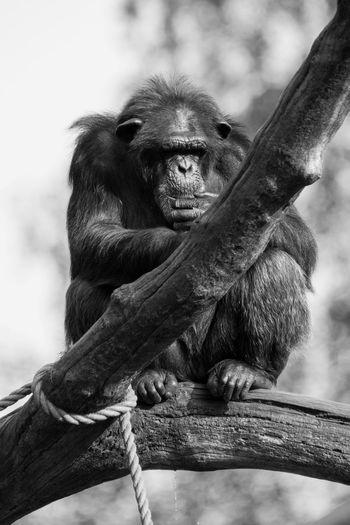 Close-up of chimpanzee sitting on tree